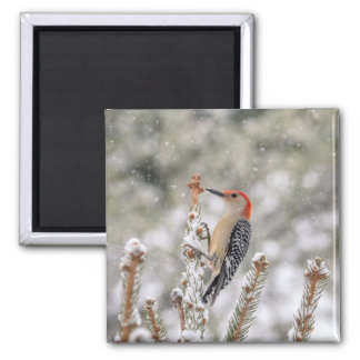 Red-bellied Woodpecker in the snow Square Magnet
