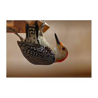 Red-bellied Woodpecker on a Suet Feeder Acrylic Print