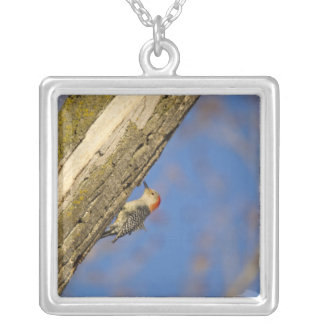 Red-bellied woopecker in tree silver plated necklace