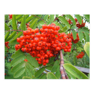 Red Berry Tree in Skagway Alaska Postcard