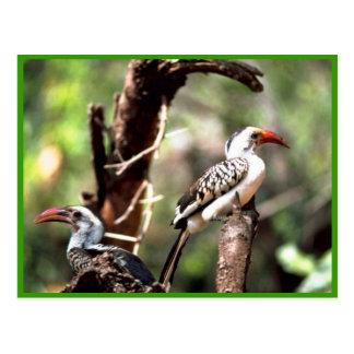 Red-billed Hornbills Postcard