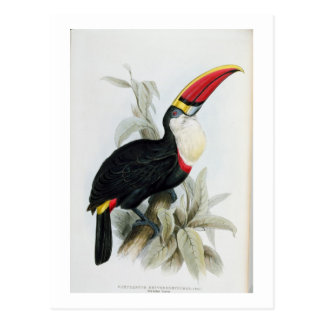 Red-Billed Toucan, from 'A Monograph of the Rampha Postcard