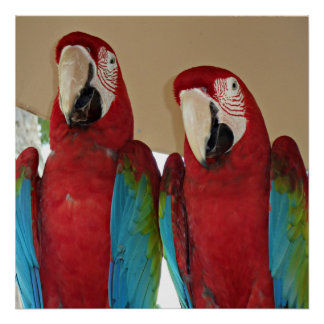 Red, Blue, Green Macaws (Parrots) Poster