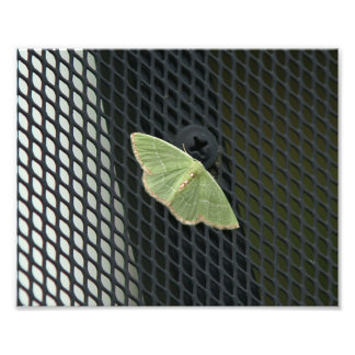 Red-bordered Emerald Moth Photo Print.