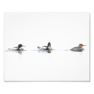 Red Breasted Merganser Photo Print on Foggy Lake