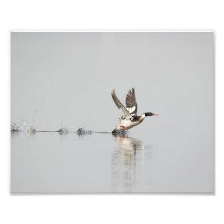 Red-breasted Merganser Taking to Flight Print