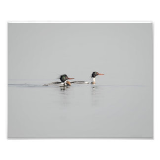 Red Breasted Mergansers on Foggy Water Photo Print