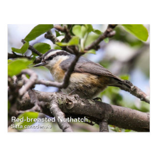 Red-breasted Nuthatch Postcard