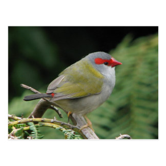 Red Browed Finch Postcard