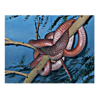 Red brown coiled poisonous snakes postcard