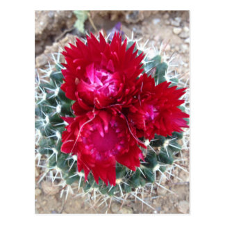 Red Cactus Flower Postcard