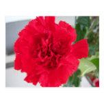 Red Carnation Postcards