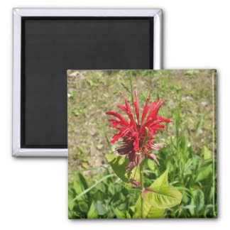 Red Celosia Flower Square Magnet