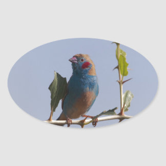 Red cheeked Cordonbleu (Uraeginthus bengalus) Oval Sticker