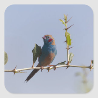 Red cheeked Cordonbleu (Uraeginthus bengalus) Square Sticker