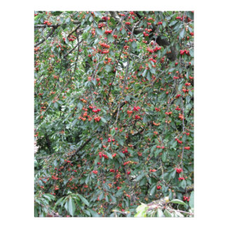 Red cherries on tree in cherry orchard letterhead