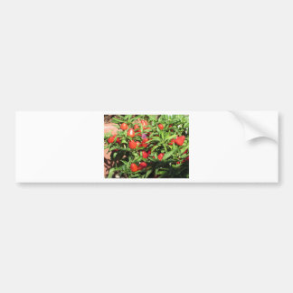 Red chili peppers hanging on the plant bumper sticker