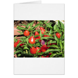 Red chili peppers hanging on the plant card