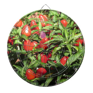 Red chili peppers hanging on the plant dartboard