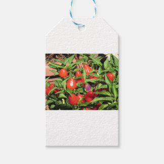 Red chili peppers hanging on the plant gift tags
