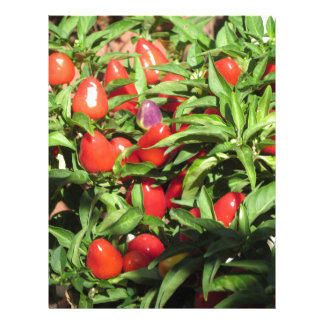 Red chili peppers hanging on the plant letterhead
