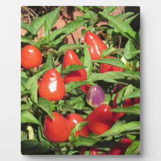Red chili peppers hanging on the plant plaque