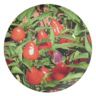 Red chili peppers hanging on the plant plate