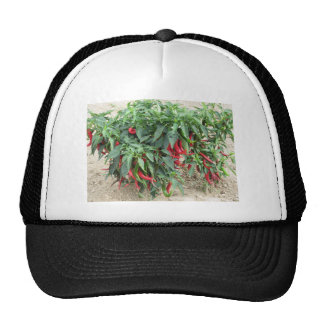 Red chili peppers hanging on the plant trucker hat