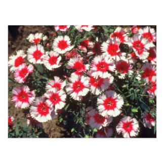 Red China Pink (Dianthus Chinensis) flowers Postcard