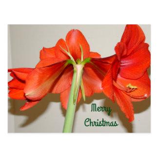 Red Christmas Amaryllis Postcard