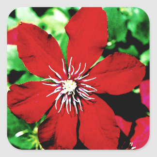 Red Clematis Climbing Flowers Square Sticker