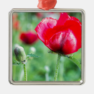 Red corn poppy with flower bud Silver-Colored square ornament