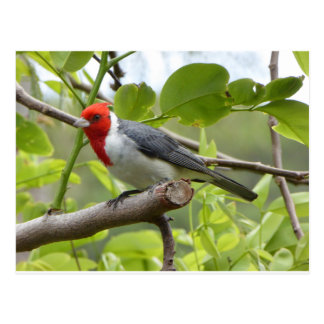 Red-crested Cardinal Postcard