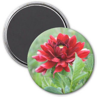 Red Dahlia Flower Large, 3 Inch Round Magnet