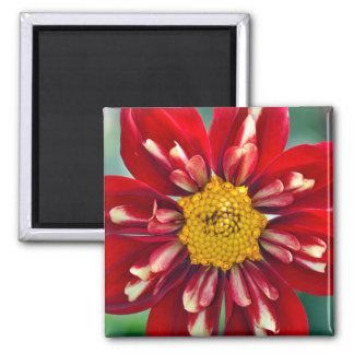 Red dahlia flower magnet