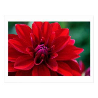 Red Dahlia Postcard