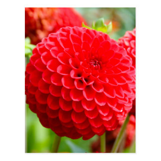 Red Dahlias in the Summer Postcard