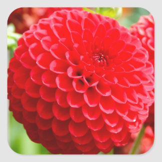 Red Dahlias in the Summer Square Sticker