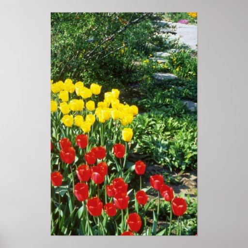 Red Darwin hybrid tulips flowers Poster