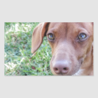 Red Dilute Dachshund Puppy