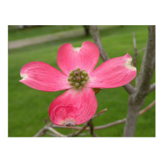 Red Dogwood Postcard