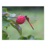 Red Dragonfly On Dogwood Fruit 10x8 Nature Print Photo