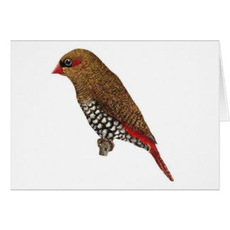 Red-eared Firetail Finch - Stagonopleura oculata Cards