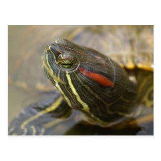 Red Eared Slider Turtle Postcards