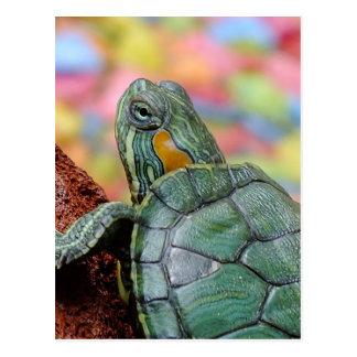 Red-eared slider turtle postcard