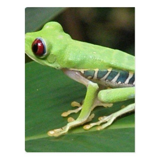 Red Eye Green Tree Frog Postcard
