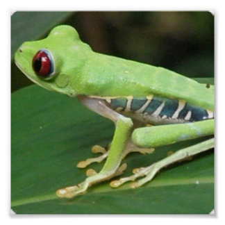 Red Eye Green Tree Frog Print