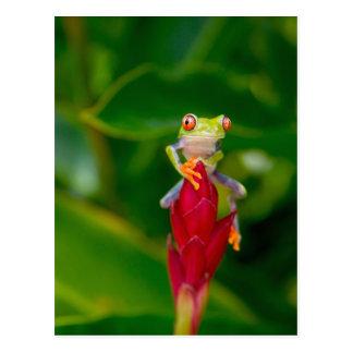 Red-eye tree frog, Costa Rica Postcard