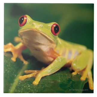 Red eye tree frog tile