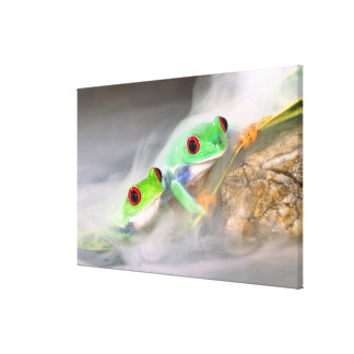 Red Eye Treefrog in the mist, Agalychinis 2 Canvas Print